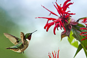 Animals In Gardens Posters - Hummingbird Quest For Nectar Poster by Christina Rollo