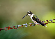 Alabama Photos - Hummingbird Resting on a Chain by Sabrina L Ryan