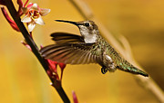 Inspirational Greeting Cards Posters - Hummingbird Poster by Robert Bales