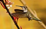 Hummingbird Print by Robert Bales