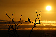 Wildlife Sunset Posters - Hummingbird silhouette Poster by Ernie Echols