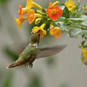Colorful Photo Prints - Hummingbird sips Nectar Print by Heiko Koehrer-Wagner