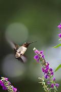 Hummingbird Somersault Print by Christina Rollo