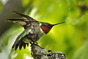 Colorful Bird Posters - Hummingbird Staking Claim Poster by Christina Rollo
