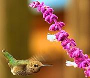 Adam Jewell - Hummingbird Strike