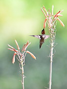 Hummingbird Prints - Hummingbird Wings Up Into Bliss Print by Wayne Nielsen