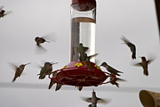 Wendy Girard - Hummingbirds I