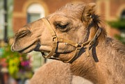 Camel Photos - Hump Day Dreaming by Steve Harrington