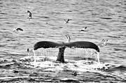 Atlantic Ocean Mixed Media Posters - Humpback Fluke 1 Black and White Whale  Poster by Brandi Fitzgerald
