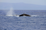Whale Photo Originals - Humpback Pair by Mike  Dawson