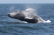 Whale Photo Originals - Humpback Whale 2 by Kelly Carey