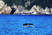 Humpback Metal Prints - Humpback Whale Alaska Metal Print by Thomas R Fletcher
