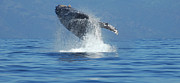 Sightseeing Posters - Humpback Whale Breaching Poster by Bob Christopher