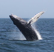 Whale Photo Originals - Humpback Whale Breaching  by Kelly Carey