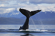 Tail Fluke Posters - Humpback Whale lifting massive tail flukes high surrounded by snowcapped mountains in Alaska Poster by Brandon Cole