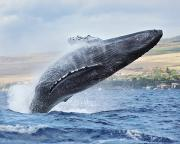 Humpback Whale Print by M Swiet Productions