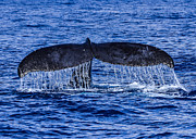 Humpback Whale Tail Fluke During Deep Dive Print by Puget  Exposure
