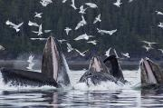 Chatham Prints - Humpback Whales Bubble Net Feeding Print by John Hyde