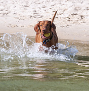 Hungarian Prints - Hungarian Vizsla with Ball at the Beach Print by Melody and Michael Watson