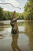 Alligator Bayou Photos - Hungry Alligator by Gayle Jenkins