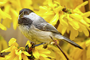 Forsythia Photos - Hungry Bird by Bill  Wakeley