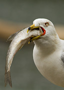 Larus Delawarensis Photos - Hungry Bird by Mircea Costina Photography