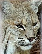 Bobcat Art Framed Prints - Hungry Bobcat Framed Print by Mark Moore