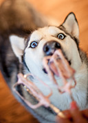 Husky Photo Prints - Hungry Eyes Print by April Reppucci