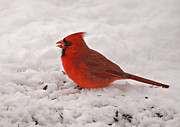 Red Bird In Snow Prints - Hungry Fella Print by Sandy Keeton