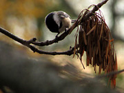 Kimberly Mackowski - Hungry Little Chickadee