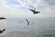 Vertebrates Prints - Hungry seagulls flying in the air Print by Matthias Hauser