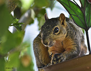 Althea Prints - Hungry Squirrel Print by Allen Sheffield