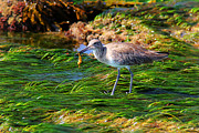 Hungry Willet Print by Mariola Bitner