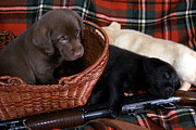 Black Lab Photos - Hunters Puppy Dreams by Skip Willits