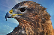 Buzzard Metal Prints - Hunting Bird Up Close Metal Print by Bev  Brown