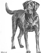 Akc Drawings Framed Prints - Hunting Dog Labrador in Full Body Pose Framed Print by Kate Sumners