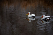 White Pelicans Framed Prints - Hunting Framed Print by Ernie Echols