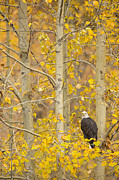 Eagle Metal Prints - Hunting from an Aspen Metal Print by Tim Grams