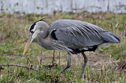 Refuge Prints - Hunting Great Blue Heron Print by Angie Vogel