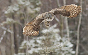 Birds - Hunting Great Grey Owl by Mircea Costina Photography