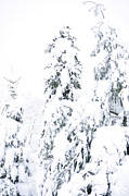Snow Covered Pine Trees Prints - Hurricane Sandy Snow Print by Thomas R Fletcher