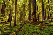 California Artist Prints - Hushed Silence - California Redwoods I Print by Dan Carmichael