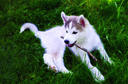 Puppy Digital Art Prints - Huskie Pup Playing Fetch Print by Bill Cannon