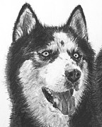 Husky Drawings Metal Prints - Husky Drawing Metal Print by Kate Sumners