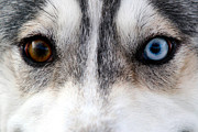 Husky Dog Prints - Husky Eyes Print by Keith Allen
