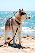 Husky Posters - Husky on the beach Poster by Gina Dsgn