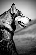 Mike Taylor Prints - Husky Portrait Print by Mike Taylor