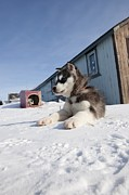 Husky Sled Dog Puppy Print by Science Photo Library