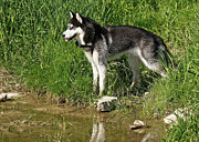 Husky Prints - Husky Watching a Duck Swim By Print by Inspired Nature Photography By Shelley Myke