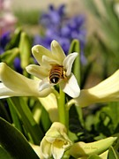 March Photos - Hyacinth and Honeybee by Chris Berry
